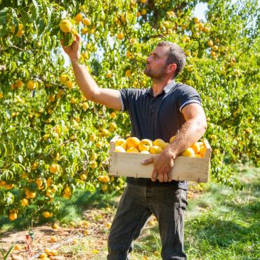 saint-mamet-homme-récolte-fruits-pommes-2