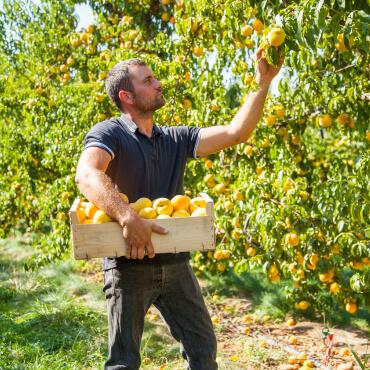 saint-mamet-homme-récolte-fruits-pommes