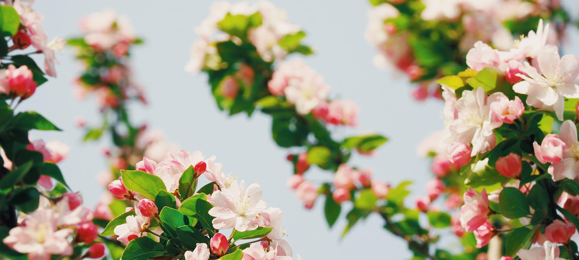 saint-mamet-fleurs-roses-arbre-fruitier-floraison