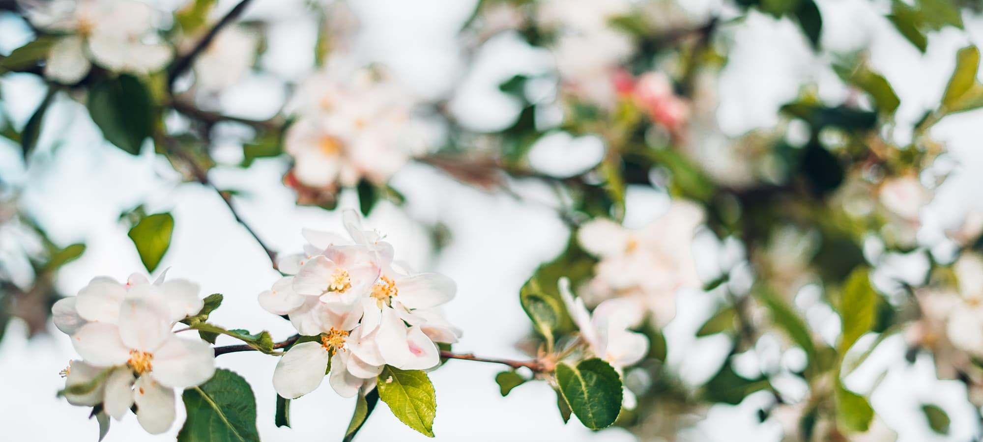 saint-mamet-fleurs-roses-arbre-fruitier-floraison-2