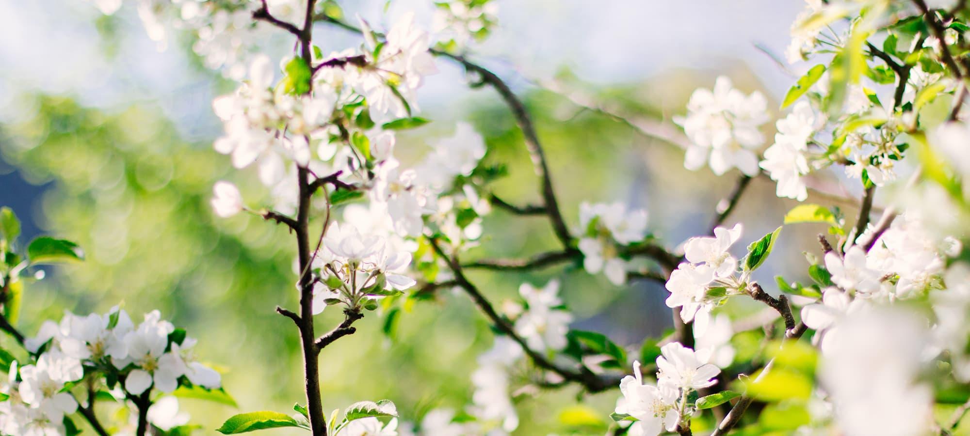 saint-mamet-fleurs-blanches-arbre-fruitier-floraison-3