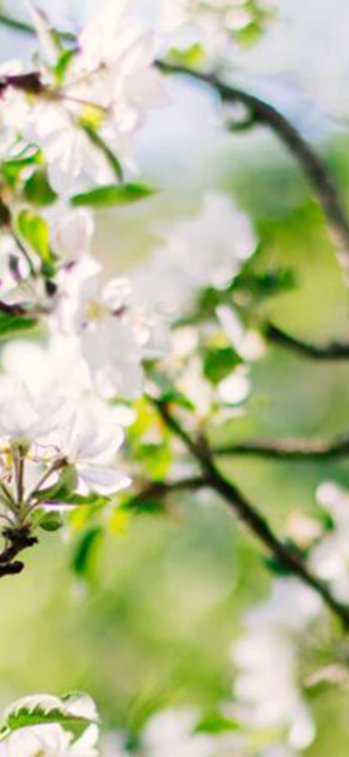 saint-mamet-fleurs-arbre-fruitier-floraison-3