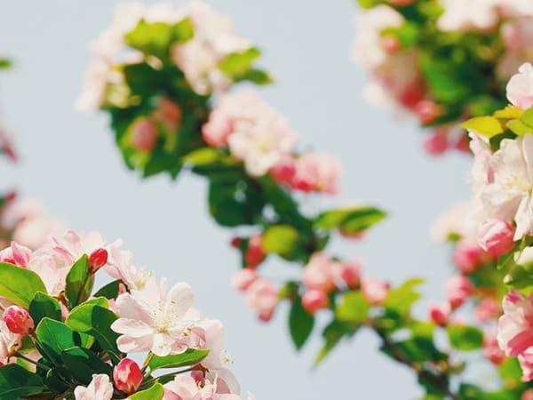saint-mamet-fleurs-arbre-fruitier-floraison-2
