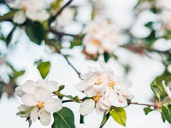 saint-mamet-fleurs-arbre-fruitier-floraison