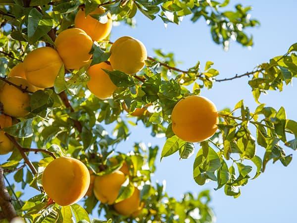 saint-mamet-grappe-pêches-bio-fruit-arbre-2