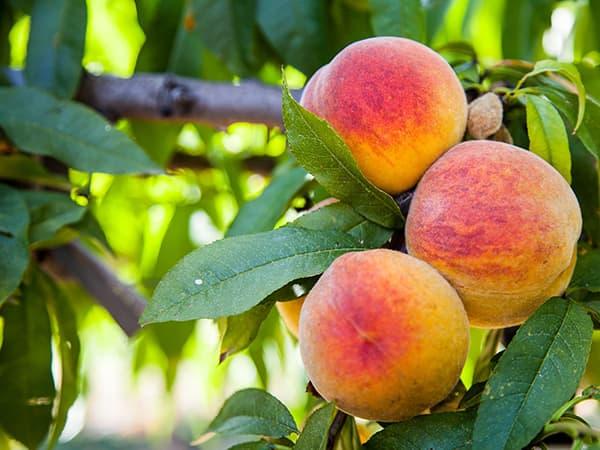 saint-mamet-grappe-pêches-fruit-arbre
